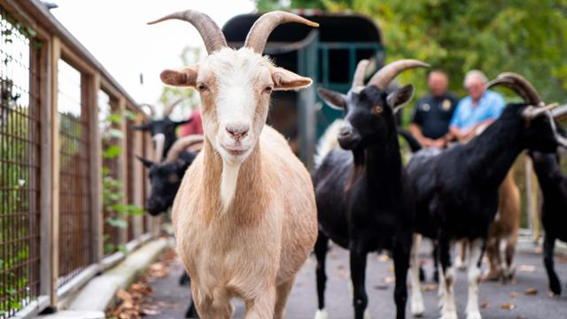 goat walking toward camera