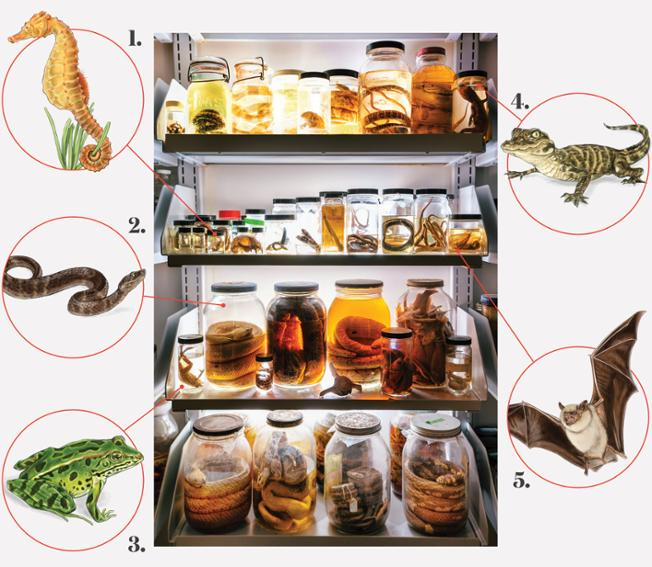 Illustrations of 1.) a lined seahorse, 2.) a pit viper, 3.) a leopard frog, 4.) an alligator hatchling, and 5.) a small brown bat, each with a line pointing to its respective location in a photograph of many animal specimens in jars, for study in the comparative vertebrate anatomy classroom