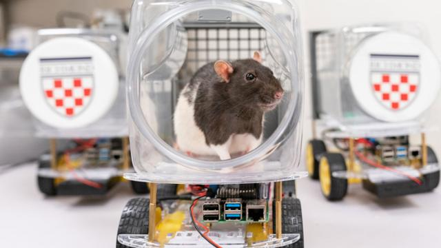 A rat is in a small plastic bin attached to a chassis with visible electronics and wheels, forming a makeshift vehicle it can operate.
