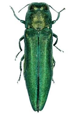 Ash borer green bug