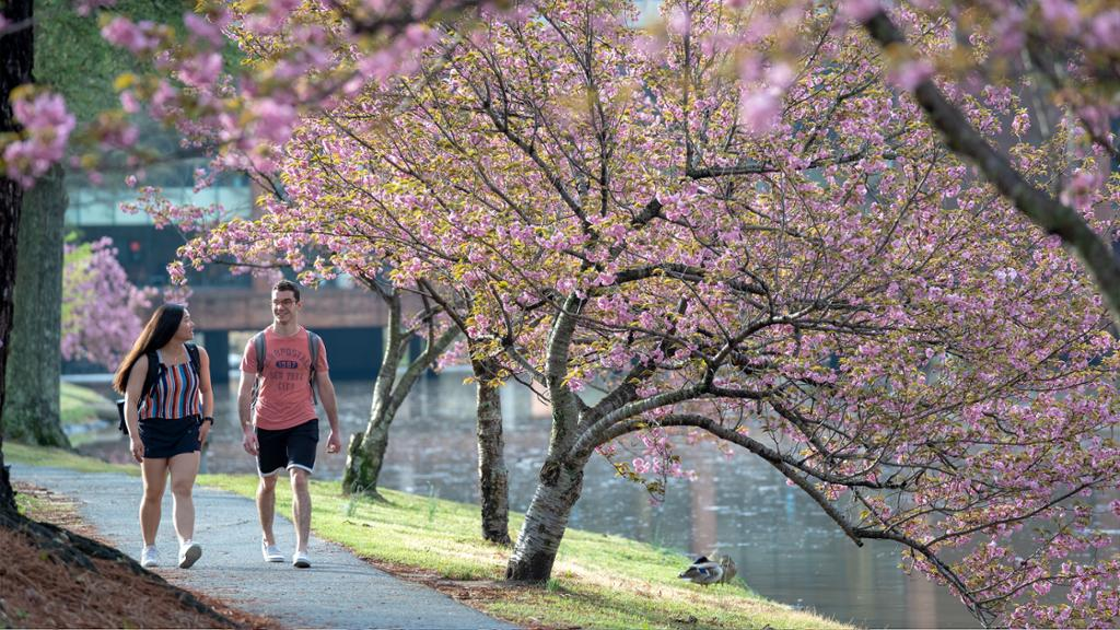 Two students walk along a path by the lake near a blooming cherry blossom tree.
