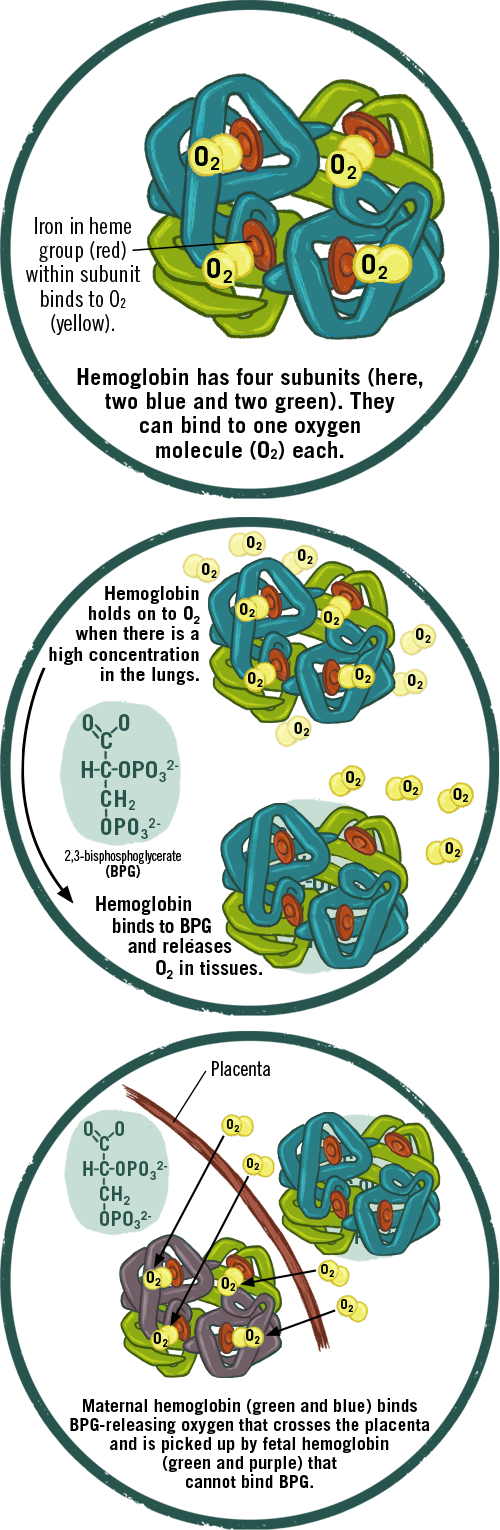 Three diagrams showing the scientific process by which hemoglobin binds and releases oxygen, and how fetal hemoglobin binds oxygen more aggressively