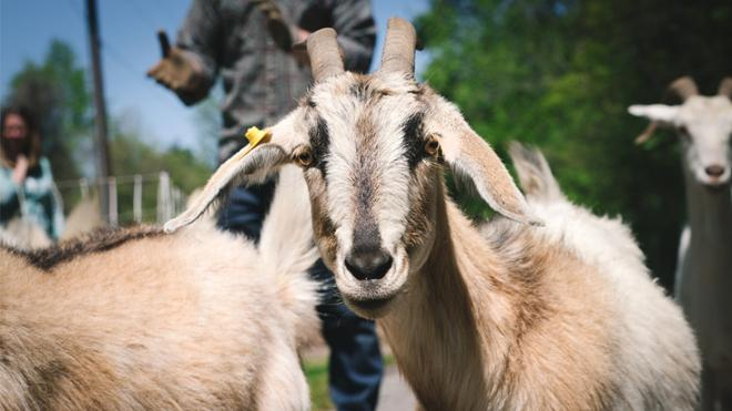 Give to Goats
