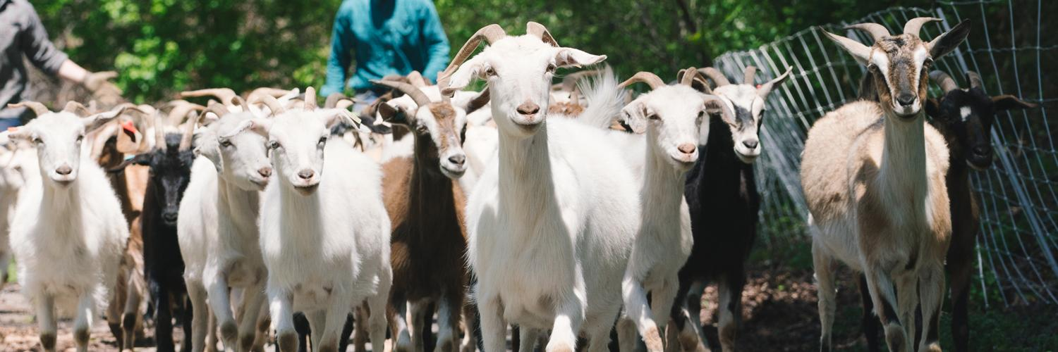 Goats are back on campus